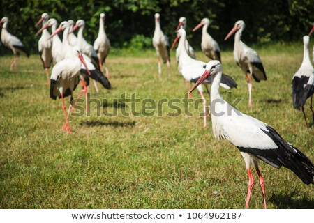 white stork foraging in the field Stock photo © taviphoto
