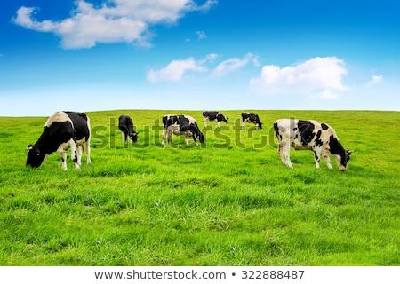 noir · vache · permanent · ferme · domaine - photo stock © vapi