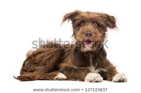 Stock photo: Studio shot of a yawning mixed breed dog