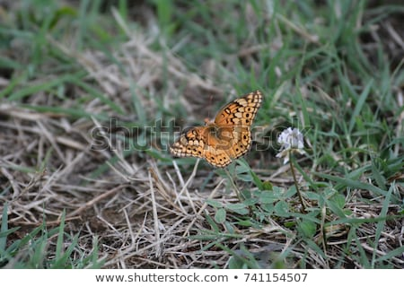 Great Spangled Fritillary Butterfly Stock photo © StephanieFrey