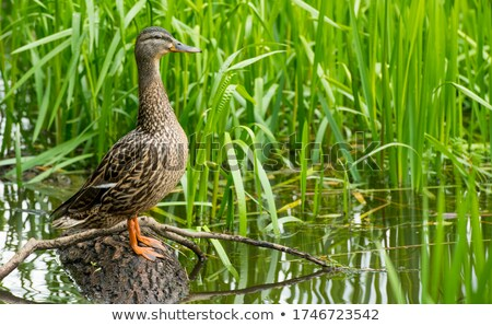 Stock photo: Macro portrait of  wild ducks