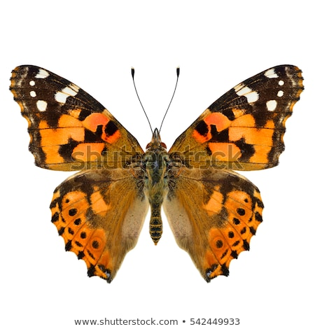 painted lady butterfly Stock photo © smithore
