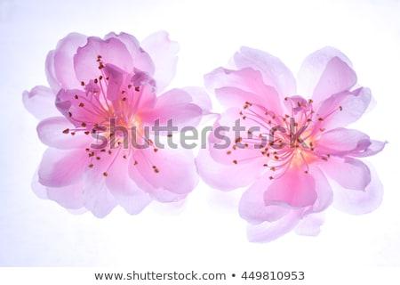 Peach flower (Prunus persica) Stock photo © rbiedermann