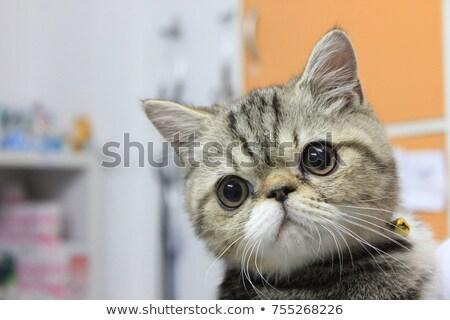 Exotic short-haired kitten Stock photo © vlad_star