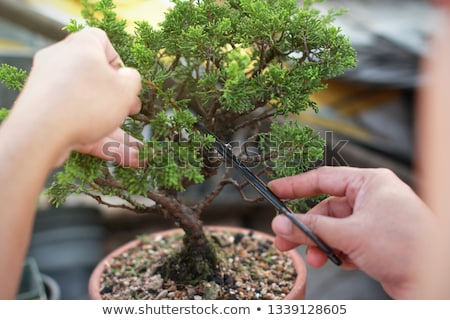 bonsai trees in japanese garden Stock photo © compuinfoto