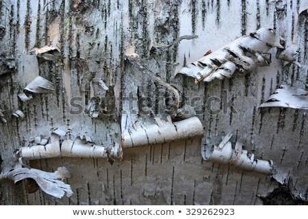 Peeling bark on a silver birch tree  Stock photo © sarahdoow