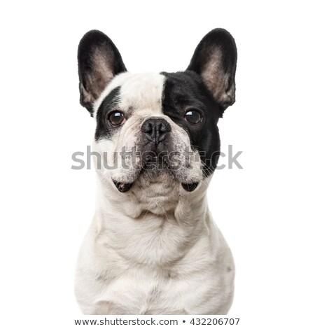 frans · bulldog · portret · geïsoleerd · witte · grappig - stockfoto © laindiapiaroa