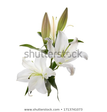 Lilly flower on a white background  Stock photo © inxti