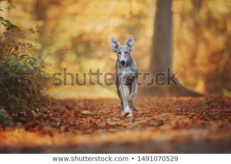 courir · chien · forêt · automne · marche - photo stock © DNF-Style