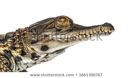 Head shot of a young West African Crocodile  Stock photo © davemontreuil