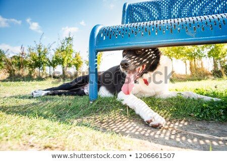 Running bearded border collie Stock photo © bigandt