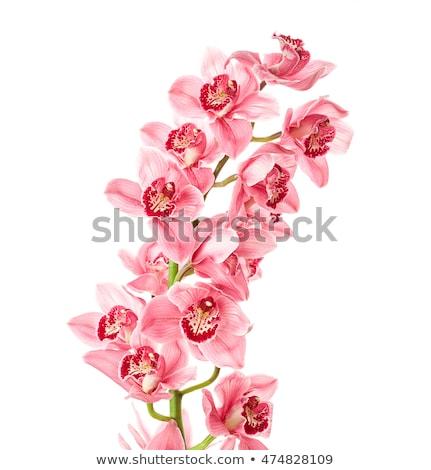 witte · roze · orchidee · bloem · geïsoleerd - stockfoto © stocker
