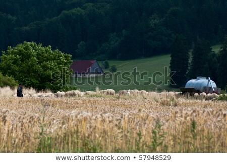 Sereg birka juhász kukoricamező farm mögött Stock fotó © franky242