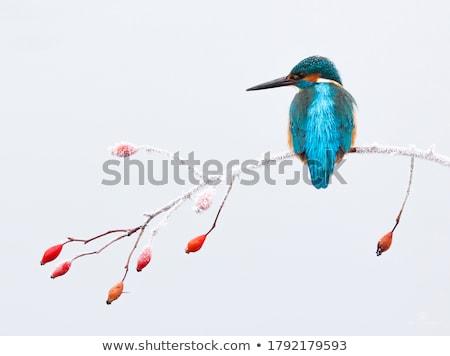 ijsvogel · portret · sneeuw · oranje · vogel · Blauw - stockfoto © dirkr