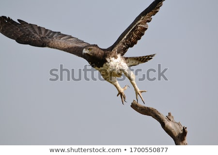 Martial Eagle Stock photo © ajn