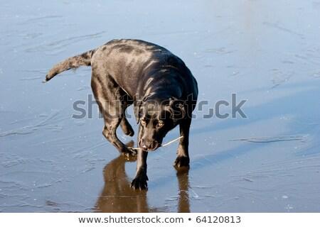 czarny · labrador · zimą · lodu · Stick · usta - zdjęcia stock © rekemp