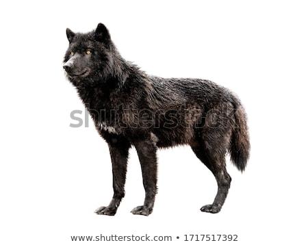 canadian black wolf stock photo © oleksandro