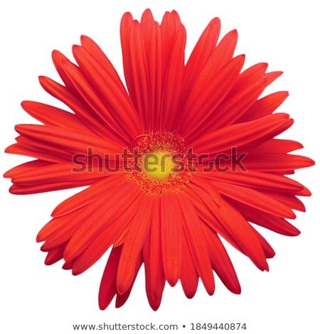 Makro · rot · Gänseblümchen · Wassertropfen · Blütenblätter · extreme - stock foto © alessandrozocc