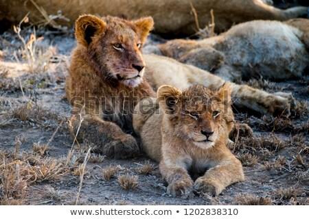 oroszlán · medvebocs · fekszik · park · Dél-Afrika · baba - stock fotó © simoneeman
