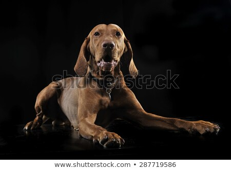 Hungarian vizsla relaxing in black background Stock photo © vauvau
