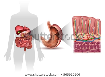 Stomach wall layers detailed anatomy, beautiful colorful drawing Stock photo © Tefi