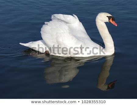 Blanco cisne lago río forestales Foto stock © Givaga