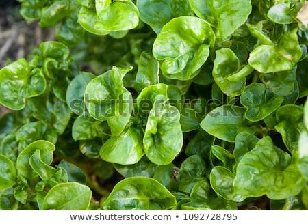 свежие · салата · листьев · тесные · Салат · завода - Сток-фото © szefei