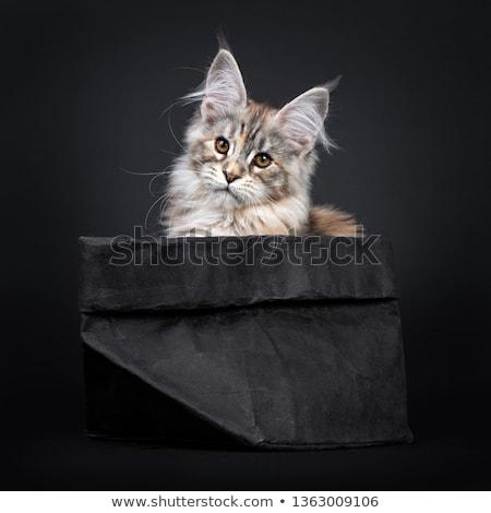 Surpreendente prata Maine gato preto excelente Foto stock © CatchyImages