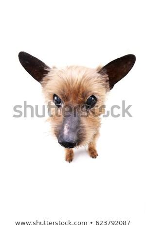 Széles látószögű portré vak Yorkshire terrier stúdiófelvétel Stock fotó © vauvau