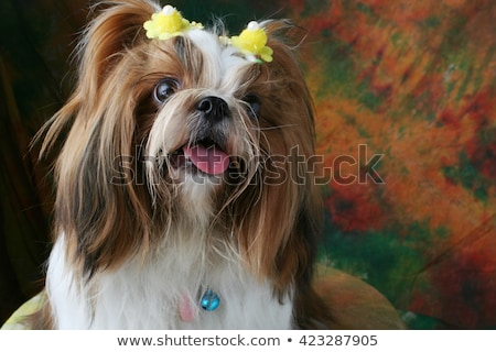 Stock photo: Studio shot of an adorable Shih-Tzu dog