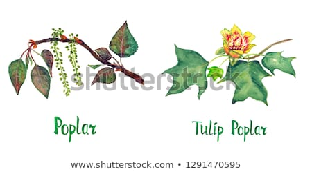Populus branch on wood Stock photo © AGfoto