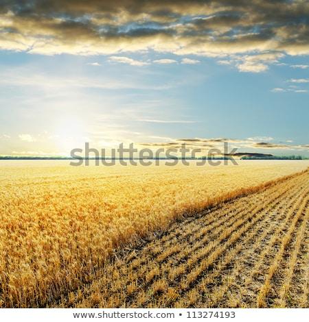 Campo grano full frame giallo Foto d'archivio © HerrBullermann