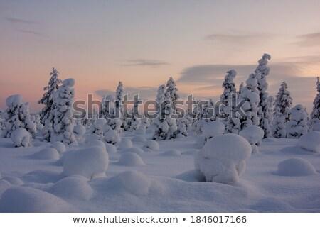 Mroźny drzewo sosna świetle śniegu zimą Zdjęcia stock © mblach