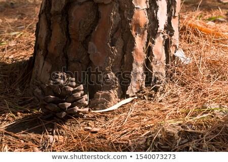 Pinho textura raso foco árvore Foto stock © photosil