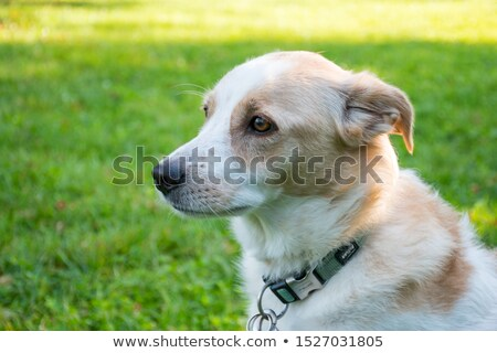 Friendly mongrel looking straight ahead Stock photo © Julietphotography
