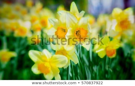 Tavasz nárciszok mező égbolt virág kert Stock fotó © unikpix