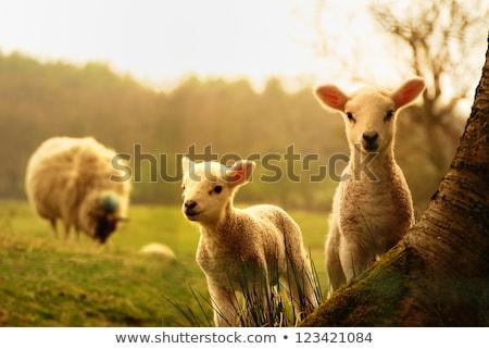 jovem · cordeiro · marrom · lã · grama · verde · páscoa - foto stock © sarahdoow