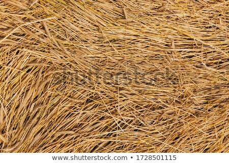 golden spikes grass crop background pattern stock photo © lunamarina