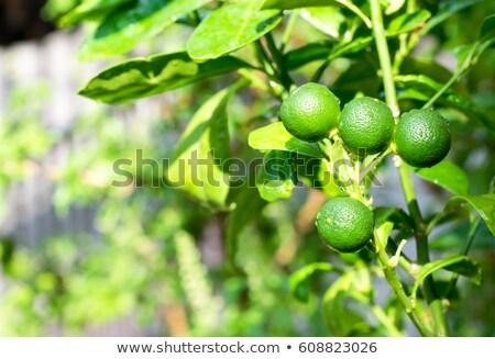 baby green orange growing in tree Stock photo © lunamarina
