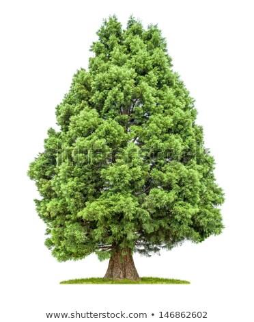 Stok fotoğraf: Yalıtılmış · ağaç · beyaz · ahşap · yeşil · bitki