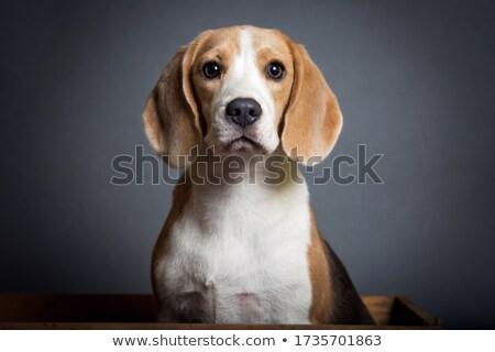 curioso · Beagle · jóvenes · perro · cabeza · fuera - foto stock © arenacreative