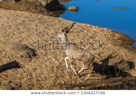 Kudu and Waterbuck, Greater Beauty from the wilds of Africa Stock photo © Livingwild