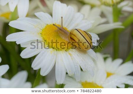 Stock fotó: Csiga · fehér · virág · kicsi · étel · fű · kert