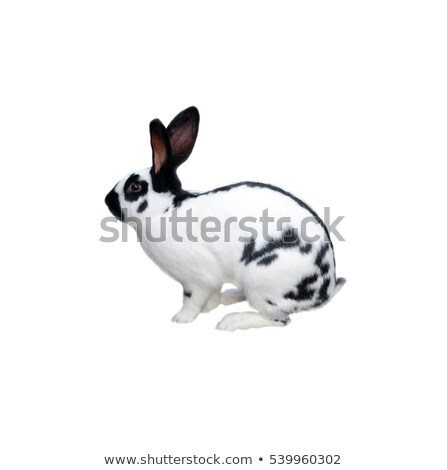 white dalmatian rabbit with black spots Stock photo © pxhidalgo