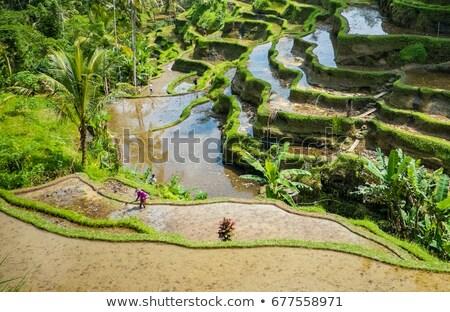 Graan hoogland Sri Lanka landschap boerderij mais Stockfoto © meinzahn