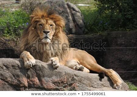 Aslan çim genç erkek bakıyor Stok fotoğraf © ottoduplessis