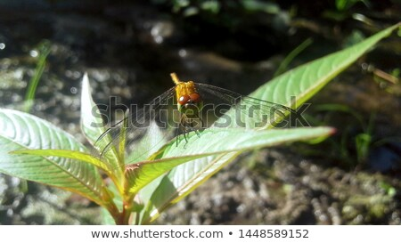 Dragonfly with black and yellow markings on its wings Stock photo © Yongkiet