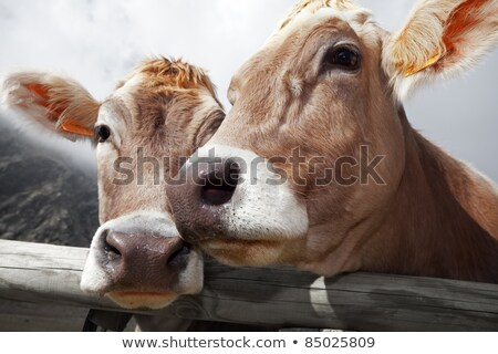 Bent Horn Cow Stock photo © rghenry