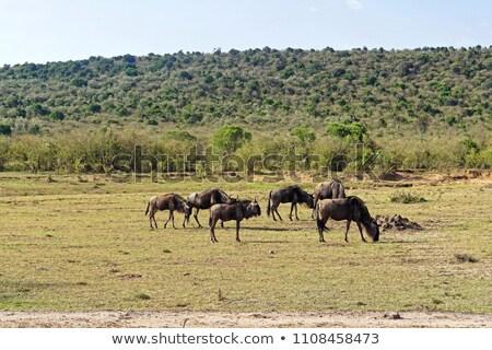 a heard of gnu grazing stock photo © jfjacobsz