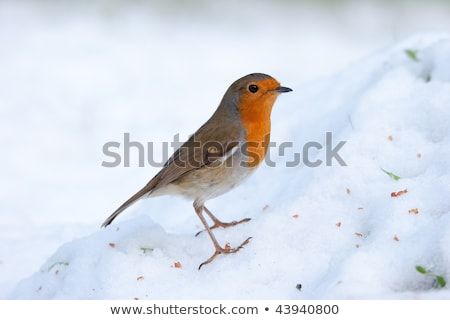 Robin perching on snowy mound   Stock photo © rekemp